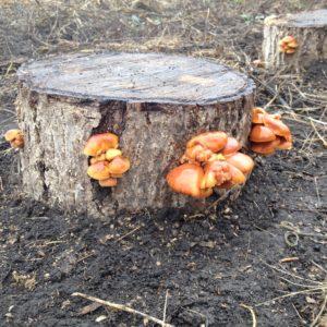 Разбираемся, какие грибы растут на пнях